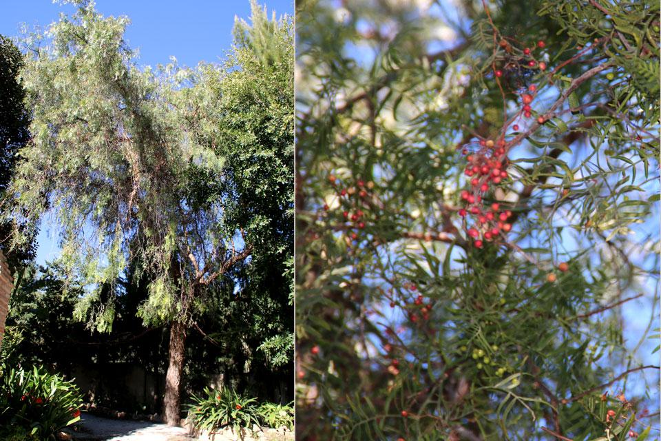 Дерево Перуанский Перец (Schinus molle) возле Замка Коломарес