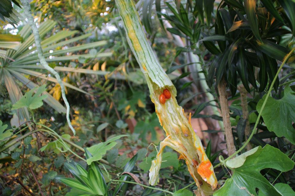 Трихозант змеевидный, Огурец змеевидный семена