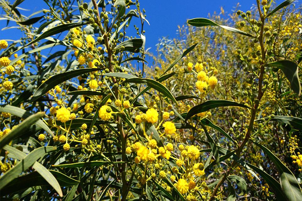 Акация стойкая (Acacia Retinodes)