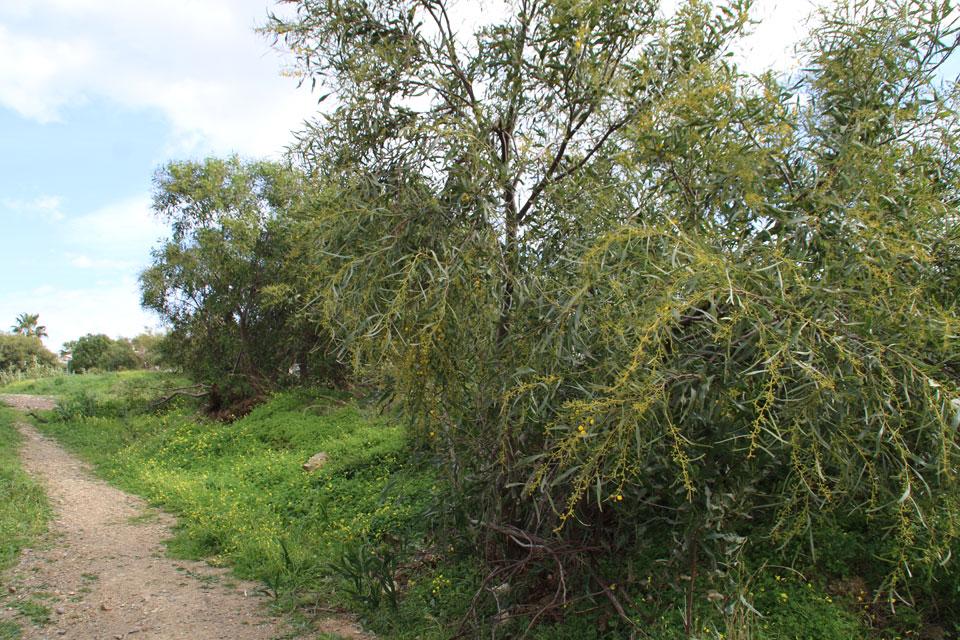 Акация стойкая Acacia Retinodes