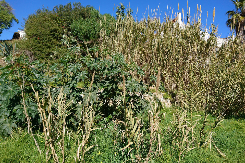 Гигантский тростник ( Arundo donax L.)
