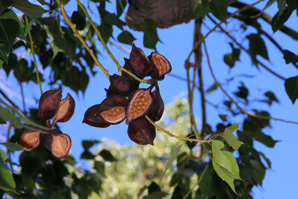 Брахихитон наскальный (Brachychiton rupestris) с плодами
