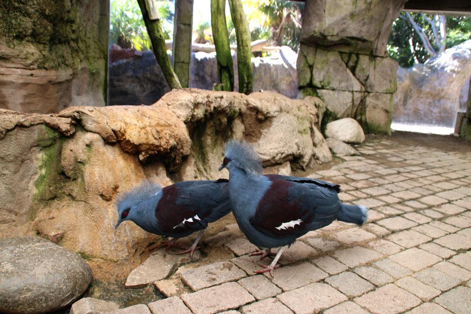Венценосный голубь Goura cristata