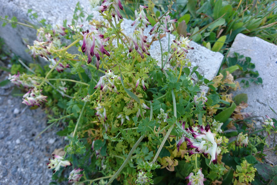 Дымянка козья (Fumaria capreolata L.)