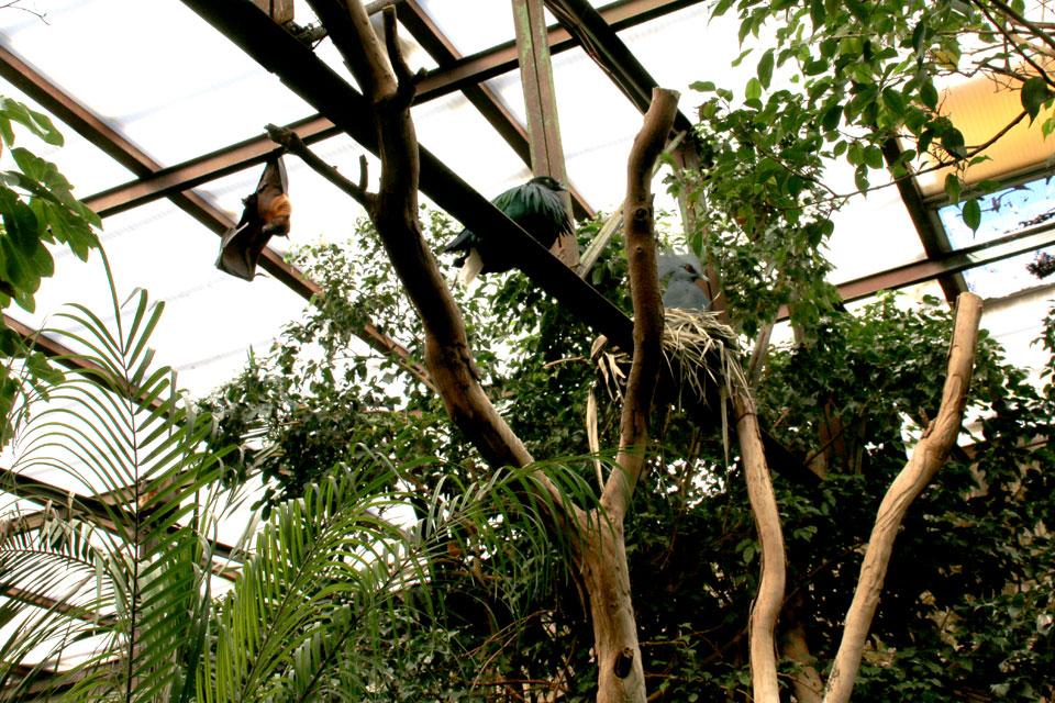Индийская летучая лисица (Pteropusgiganteus), Гривистый голубь (Caloenasnicobarica)и Венценосный голубь Goura cristata.