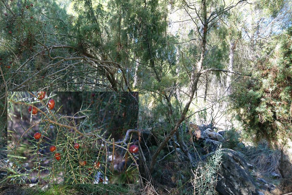 Можжевельник колючий или красный (Juniperus oxycedrus)