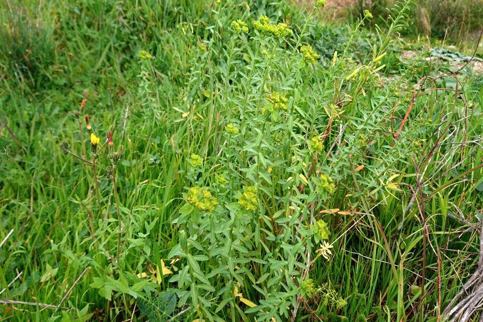 Молочай солнцегляд (Euphorbia helioscopia L.)