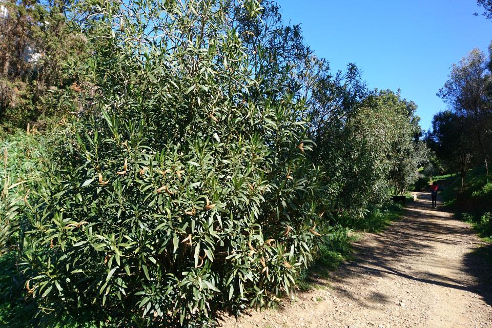 Дикорастущие вечнозеленые кусты олеандров (Nerium oleander)
