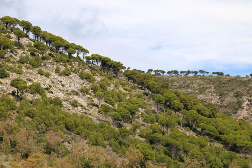 Сосны Пиния (Pinus pinea)