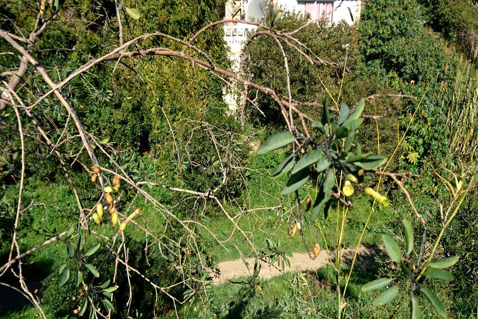 Табачное дерево (Nicotiana glauca)