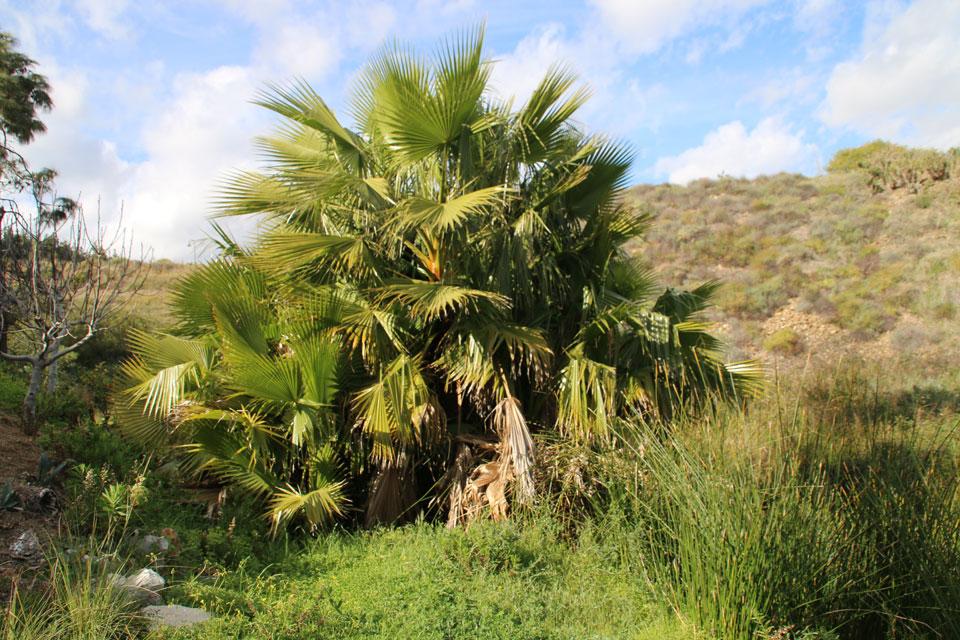 Дикорастущая пальма хамеропс (Chamaerops humilis)