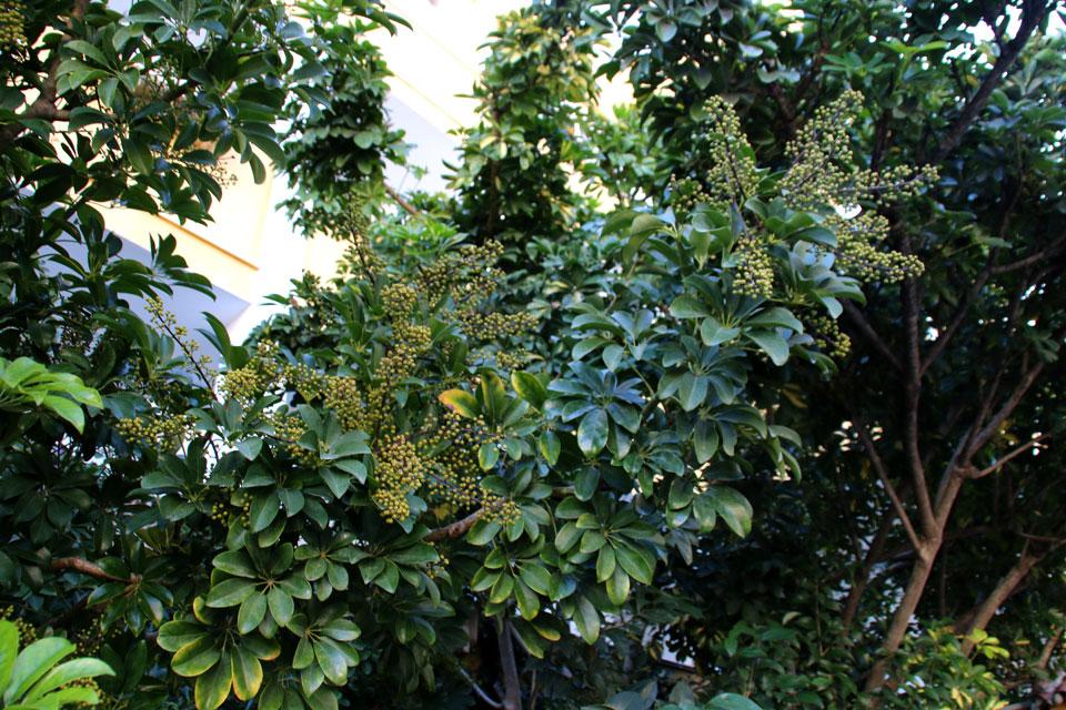 Шеффлера арборикола (Schefflera arboricola)