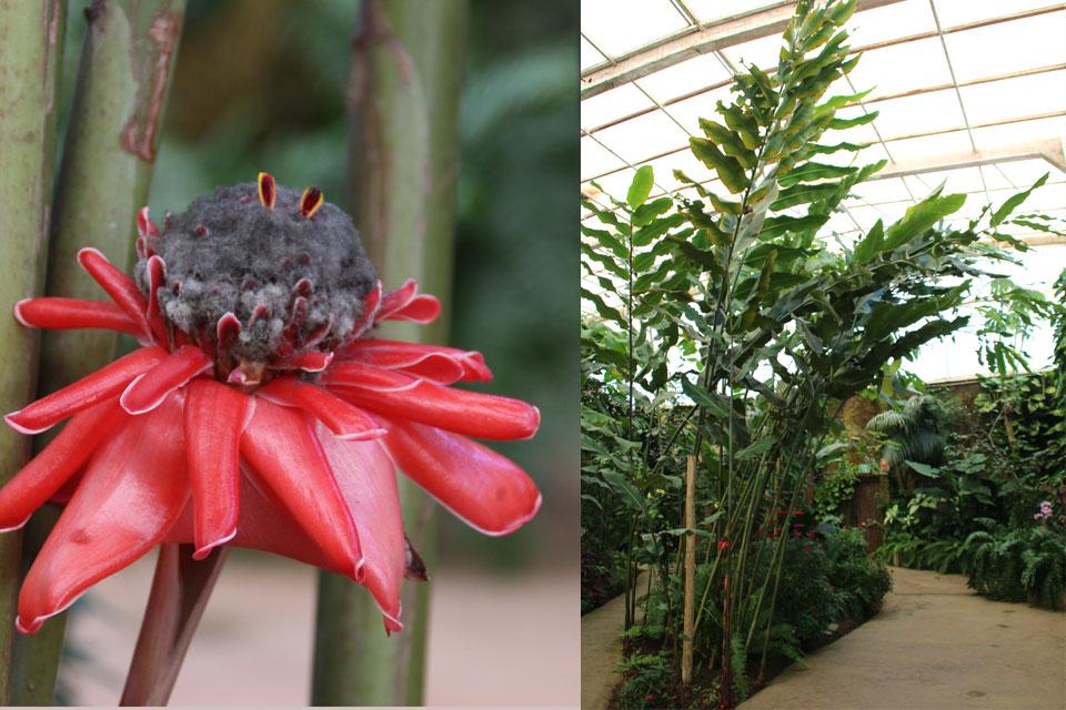 Этлингера высокая (Etlingera elatior)