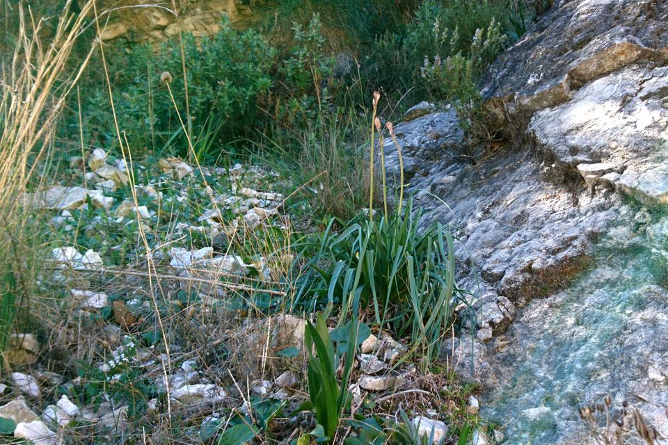Луковичные растения, кирказон и ладанник в горах на юге Испании.