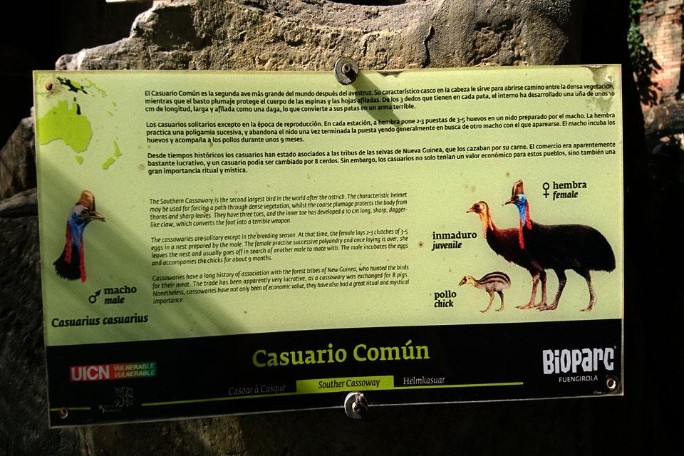 Шлемоносный казуар (Casuarius casuarius)