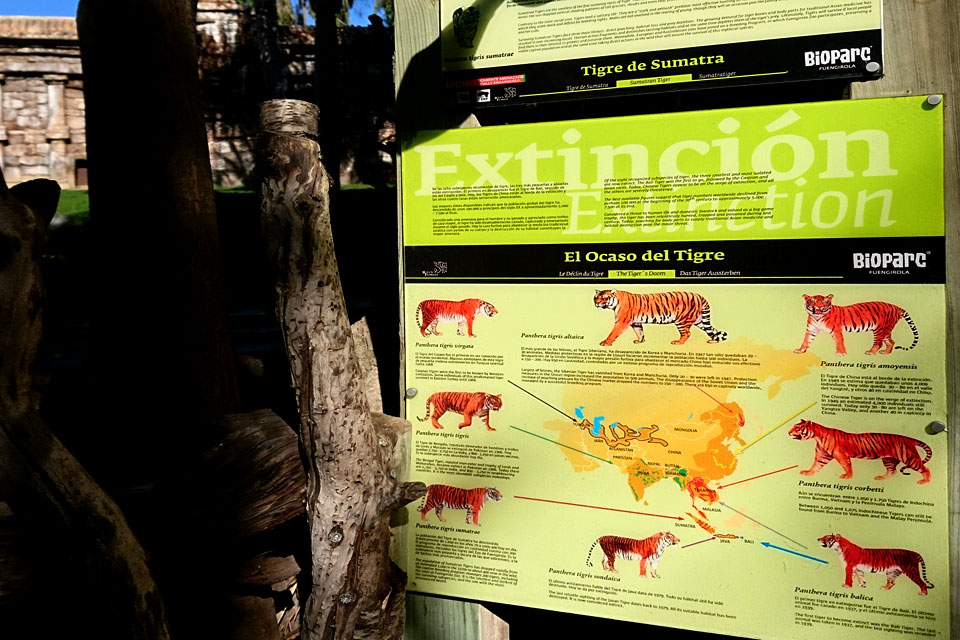 Таблица с описанием видов тигров, которые находятся на грани исчезновения