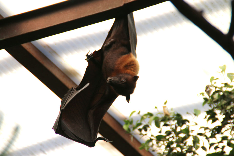 Indian flying fox Индийская летучая лисица Pteropus giganteus www.florapassionis.com