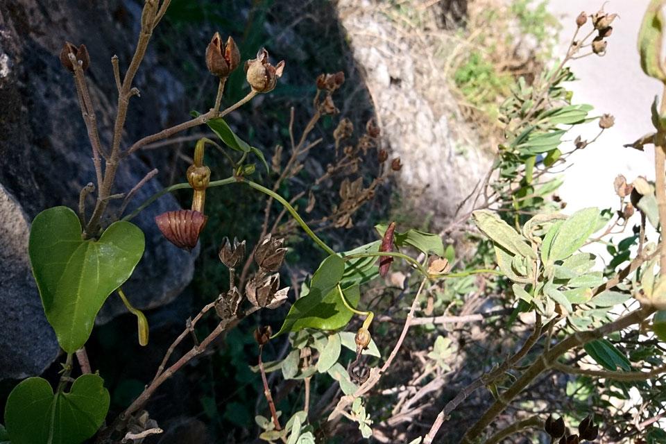 Кирказон, или Аристолохия (Aristolochia sempervirens)
