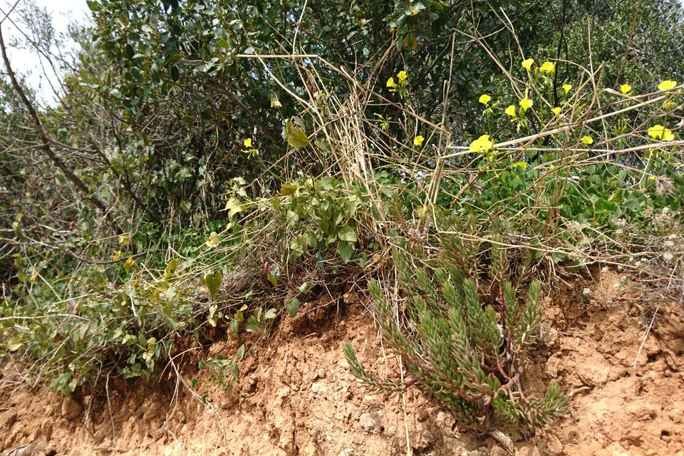 Очиток очитковидный (Sedum sediforme J.)