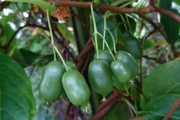 actinidia-arguta-issai Мини-киви актинидия Иссаи семена 51017 www.florapassionis.com