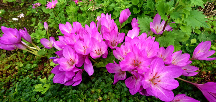 Безвременник осеннийColchicumautumnale 12sept17 aarhus www.florapassionis.com