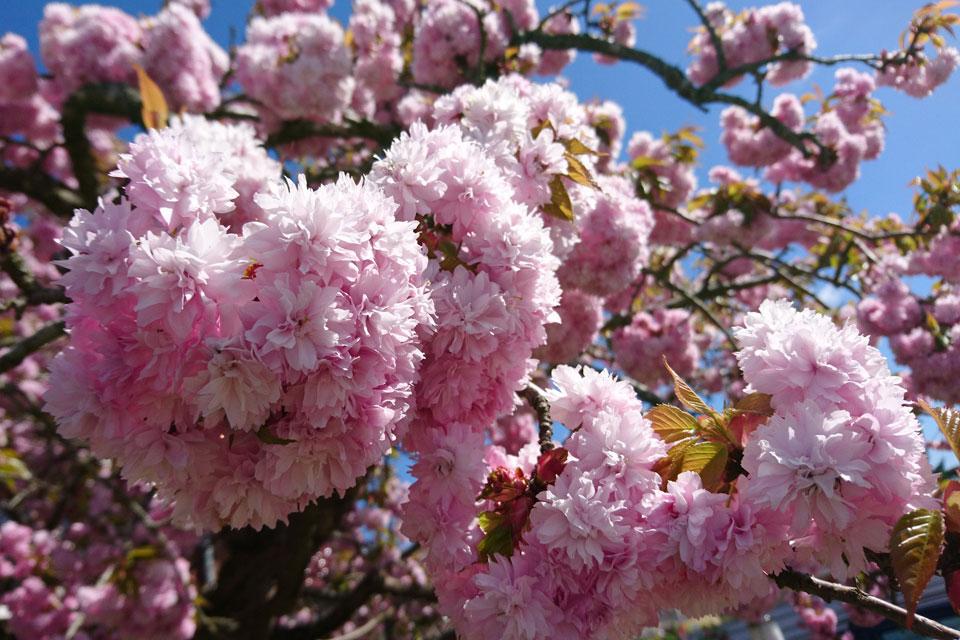Сакура с махровыми цветами