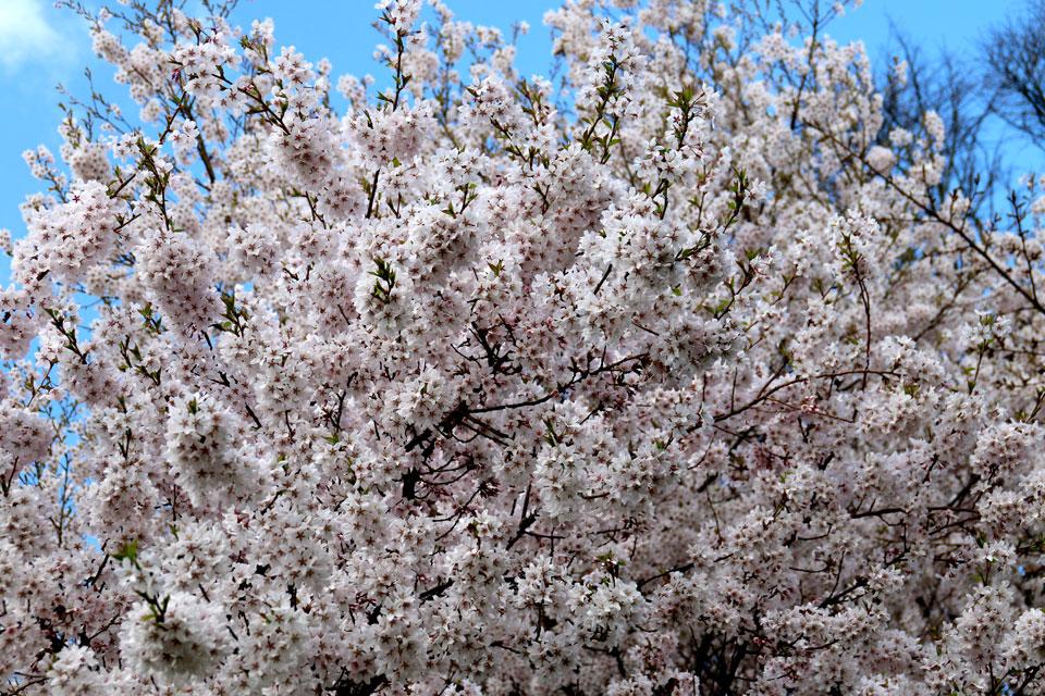 Дерево японской вишни - сакура, усыпанное цветами.