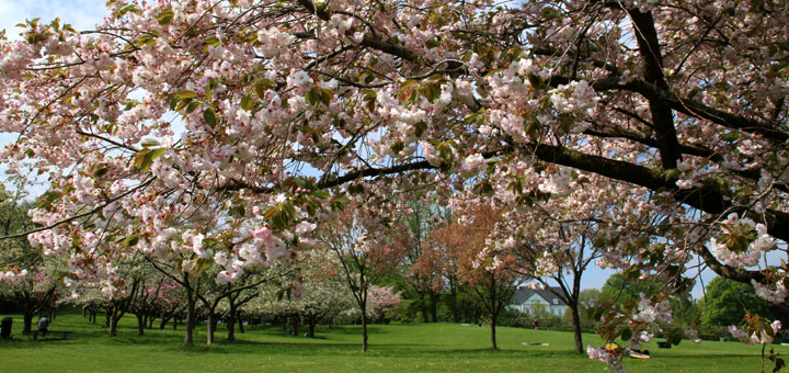 Сакуры в Мемориальном парке Орхус mindepark aarhus japansk kirsebær memorial park aarhus www.florapassionis.com
