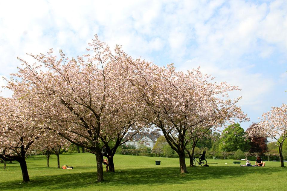 Сакуры в Мемориальном парке города Орхус, Дания