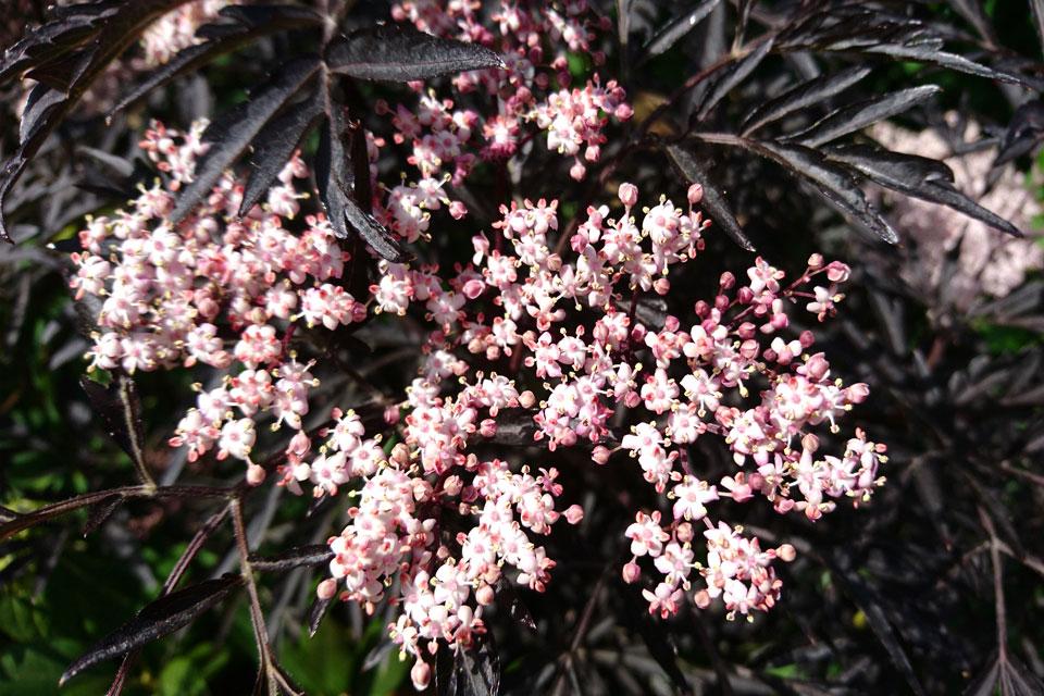 Розовые цветки темнолистного сорта бузины Черное кружево / Black Lace