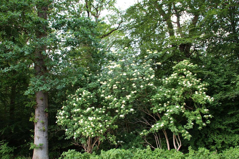 Заросли бузины в буковом лесу