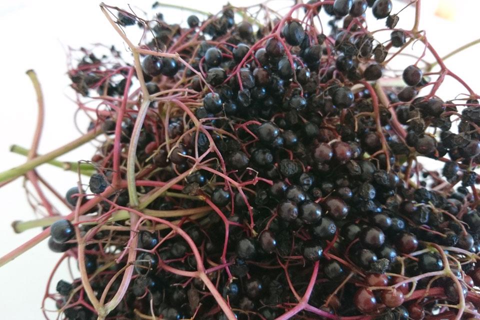 Спелые ягоды бузины черной