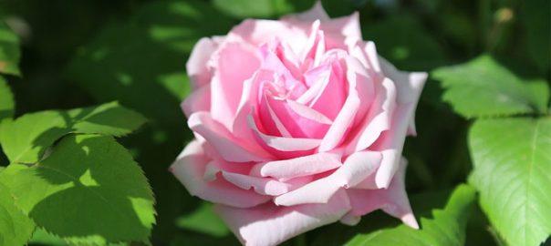 Прекраснейшая роза мира -сказка Андерсена Г. Х.-из золотого архива сказок великого сказочника Датского королевства, 1851 год (Verdens dejligste rose)