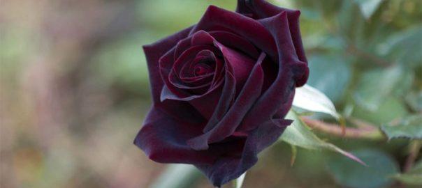 Роза с могилы Гомера -сказка Андерсена Г. Х.-из золотого архива сказок великого сказочника Датского королевства, 1842 год (En rose fra Homers grav)
