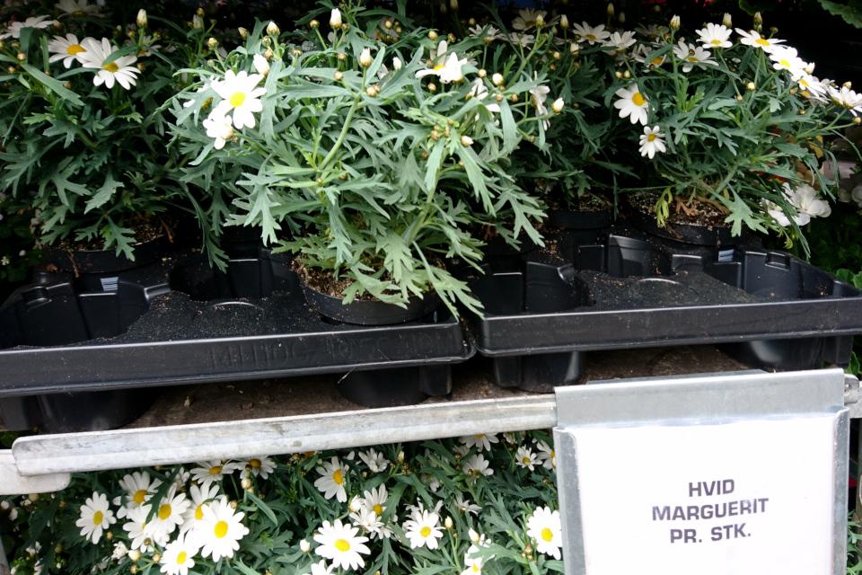 Аргирантемум кустарниковый (лат. Argyranthemum frutescens)