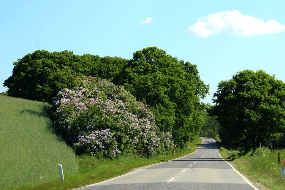 Цветущая сирень и аллея из многовековых дубов по дороги маргариток.