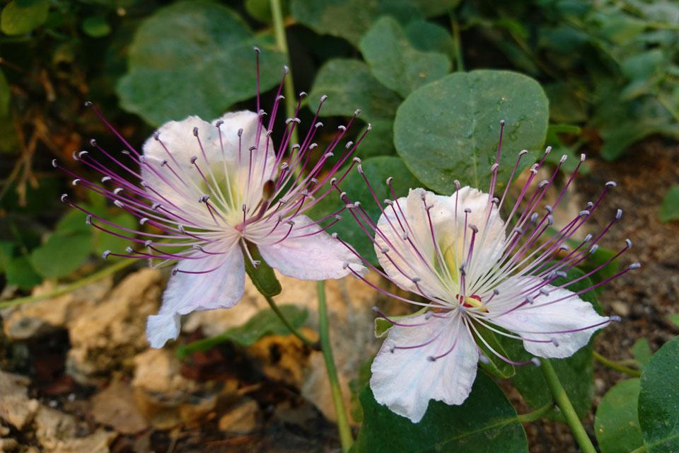 Цветки каперсов