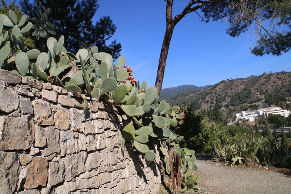 Опунция Opuntia. Ботанический сад Ла Консепсион, Малага
