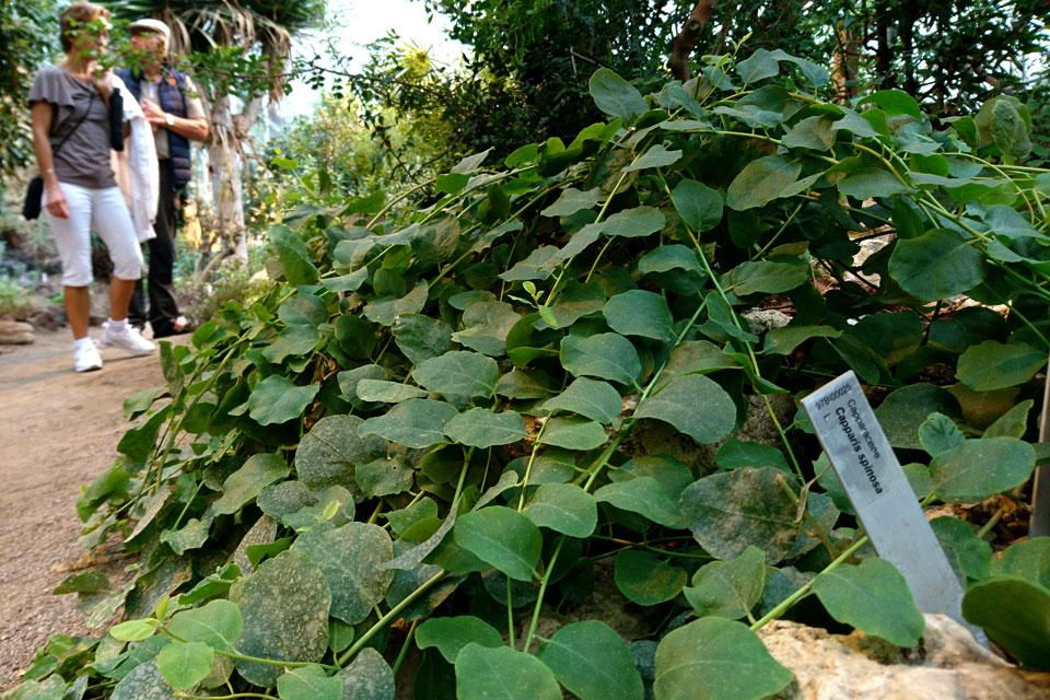 Развесистый куст каперсов Capparis spinosa