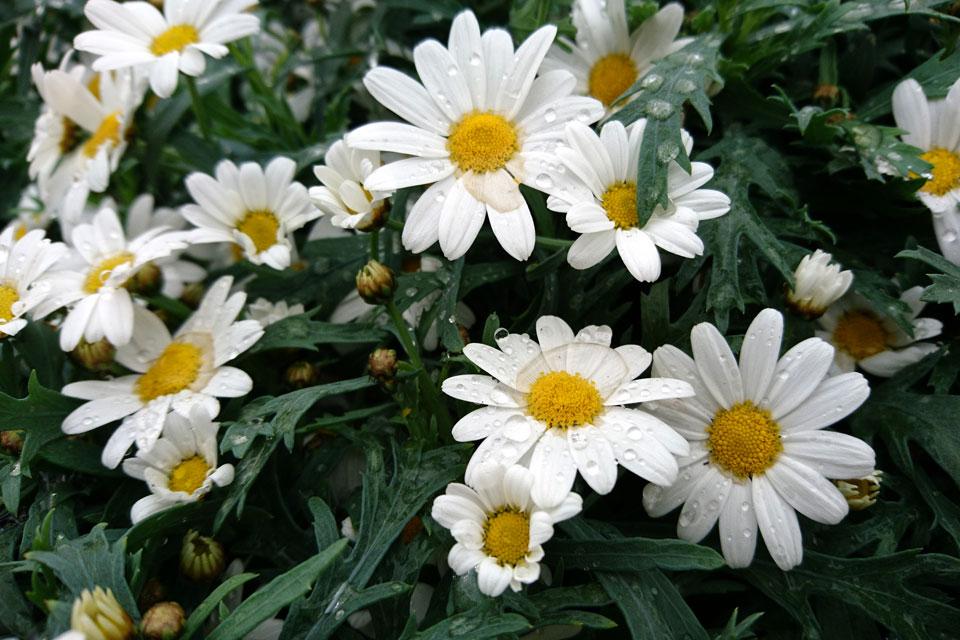 Аргирантемум кустарниковый (Argyranthemum frutescens)