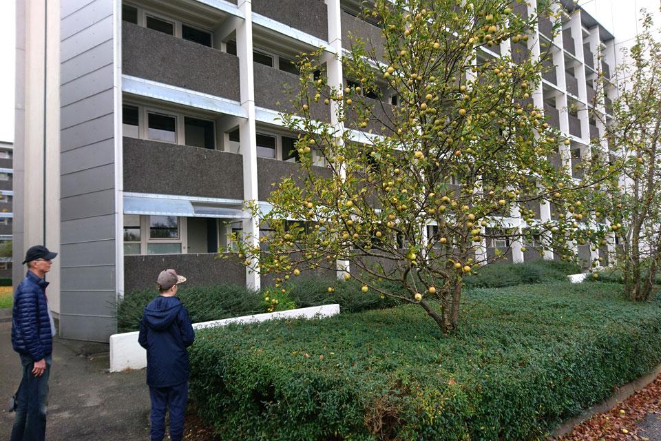 Яблони растут около жилищного комплекса для свободного пользования