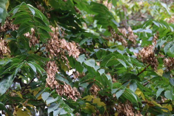 Айлант высочайший китайский ясень семена Ailanthus altissima 19okt18 bhaa www.florapassionis.com