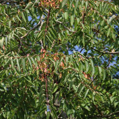 Айлант высочайший китайский ясень семена Ailanthus altissima 22aug18 minpa www.florapassionis.com