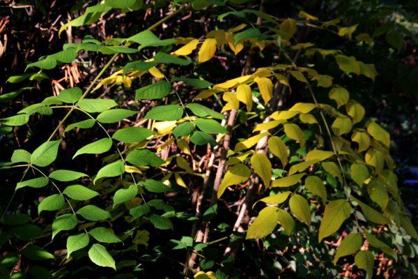 Аралия высокая Аралия маньчжурская семена Aralia mandshurica Аralia elata 11okr18 mindpa www.florapassionis.com