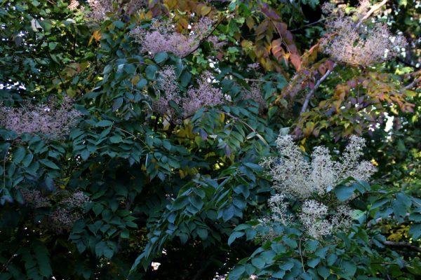 Аралия высокая - семена Aralia elata 11okt18 www.florapassionis.com