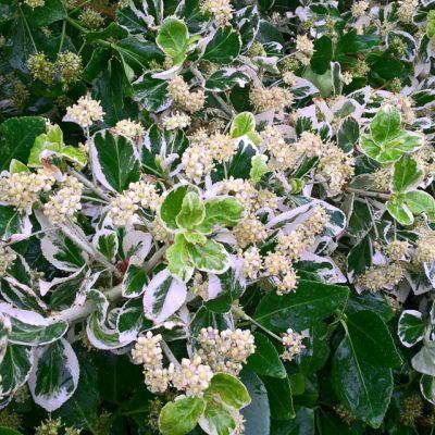 Бересклет японский белый 300617 www.florapassionis.com