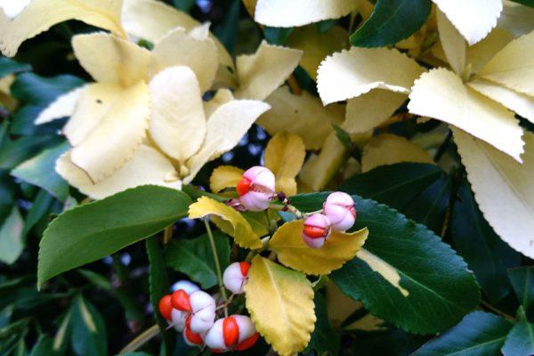 Бересклет японский желтый - семена golden euonymus japonicus www.florapassionis.com