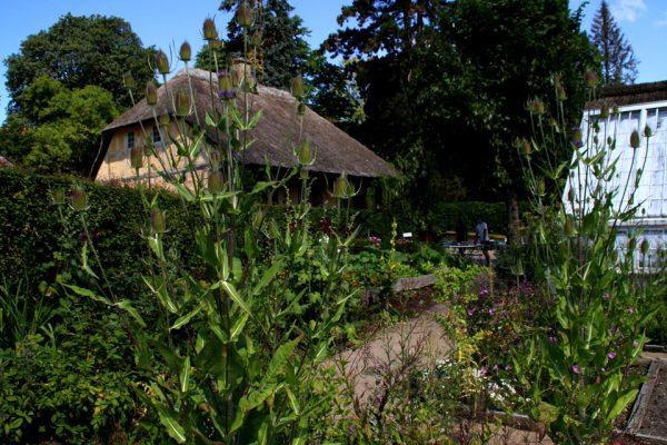 Ворсянка dipsacus-fullonum dengamleby aarhus 8jul18 www.florapassionis.com