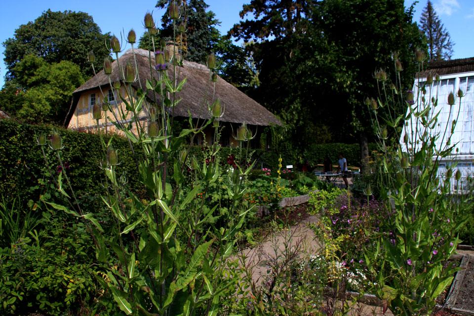 Цветущая ворсянка на исторических огородах музея Старый Город / Den Gamle By, г. Орхус