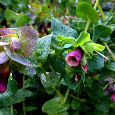 Восковник пурпурный Cerinthe major 9nov17 my garden www.florapassionis.com